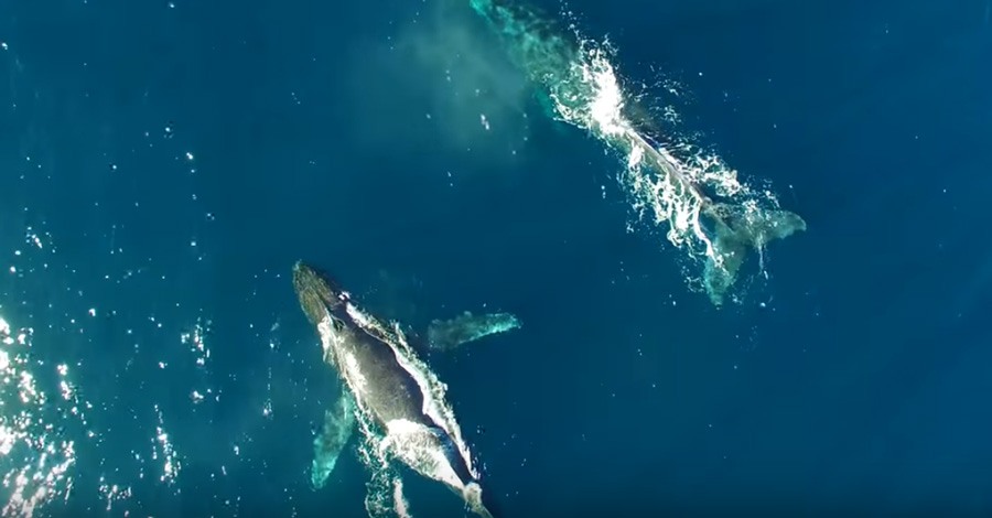 buscando-a-la-ballena-jorobada
