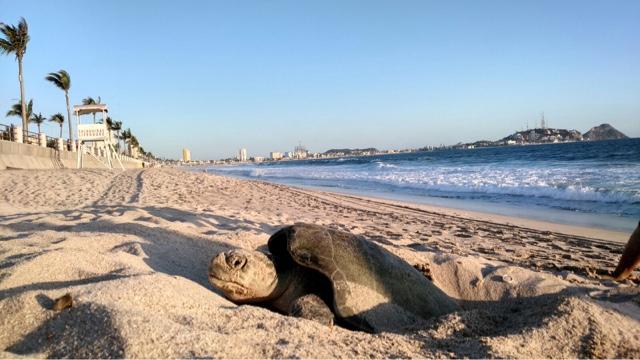 Resultado de imagen de mazatlan tortugas marinas
