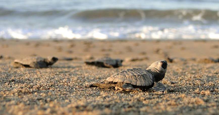 Liberación de tortugas Marinas en Mazatlán